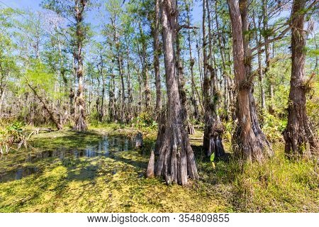 Typical cypress forest in Everglades National Park, Florida