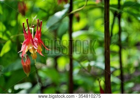Close Up Of An Aquilegia Canadensis Or Red Columbine In Full Bloom In My Garden