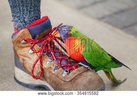 Lorikeet Parrot Sitting On Human Leg And Pecking Biting Shoe Laces. Funny Domestic Animal Pet Commun