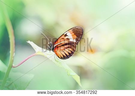 Closeup Macro Of  Heliconius Melpomene Butterfly. Wild Red Orange Insect Animal Sitting On Green Lea