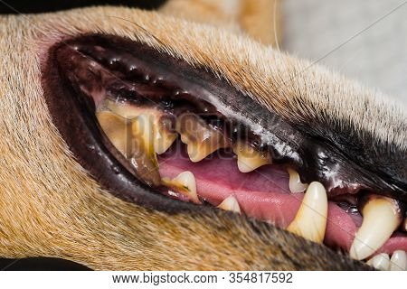 Dog With Gingivitis And Teeth With Tartar