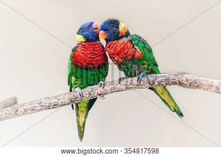 Group Couple Of Two Cute Colorful Little Lorikeet Parrots Kissing. Beautiful Wild Tropical Animals B