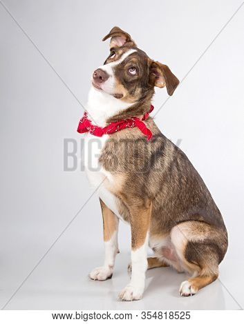 Brown And White Border Collie Mutt With Lots Of Personality Photographed Sitting On A Gray Backgroun