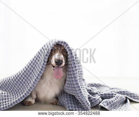 Adorable Smiling Dachshund Dog Hides And Peeks At The Camera And Cuddles In A Blanket In Natural Lig