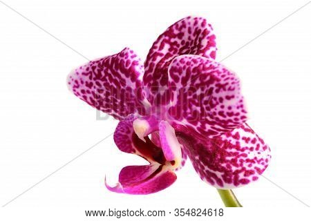 Phalaenopsis Spotty Pink Orchid Close-up, White Background.