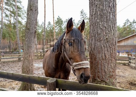 A Brown Horse Peeks Out From Behind A Wooden Fence Near The Trees. An Animal With A White Bridle In