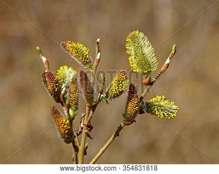 Nature Awakes In Spring. Blooming Willow Twigs And Furry Willow-catkins, So Called