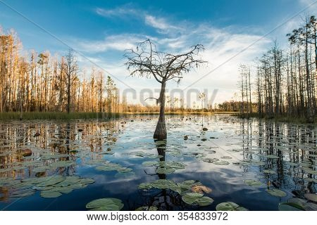 A lone cypress tree stands in a pond of lilypads in the Okefenokee swamp at sunset.