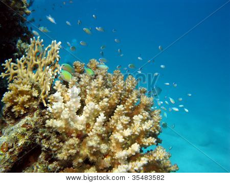 coral reef with with exotic fishes on the bottom of red sea - underwater photo poster