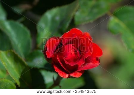 Red Rose On Blured Green Background. Beautiful Flower. Symbol Of Love.