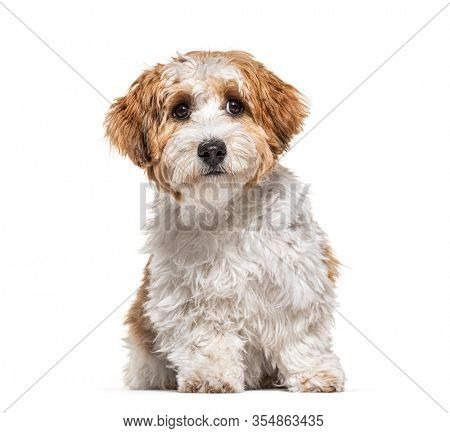 Puppy Havanese dog sitting, 5 months old, isolated on white