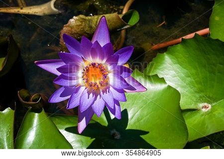 Closeup Of Beautiful Bright Purple Violet Nymphaea Or Water Lily Bud In A Pond