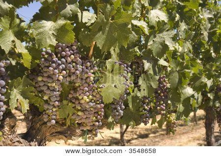 Grapevine In Napa Valley, California