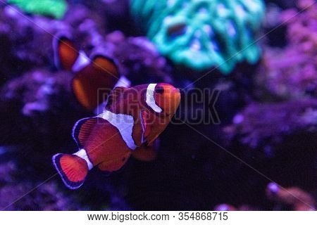 Clownfish Or Anemonefish Amphiprioninae