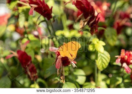 Orange Julia Butterfly Known As Dryas Julia