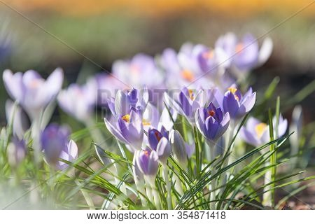 Closeup Of Blue Violet Crocus Blooming On Field, Selective Focus, Blurred Background With Sun Light.