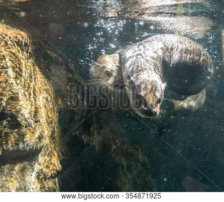 River Otter Lontra Canadensis Siblings Playing