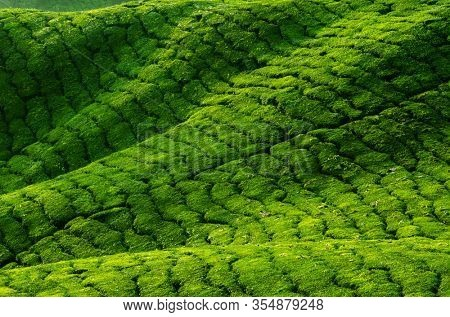 Tea plantation in row, Cameron Highland, Malaysia.