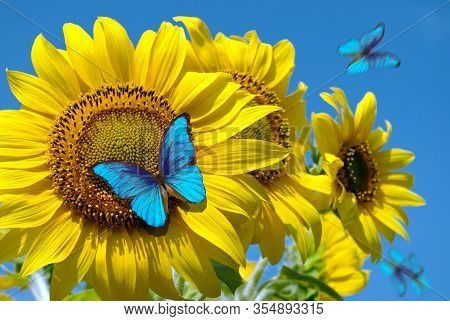 Blooming Sunflowers On A Background Of Blue Sky. Beautiful Blue Butterflies Flying Among The Flowers