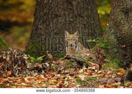 The Eurasian Lynx (lynx Lynx), Also Known As The European Lynx Or Siberian Lynx In Autumn Colors. Ly