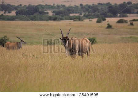 lonely antelope