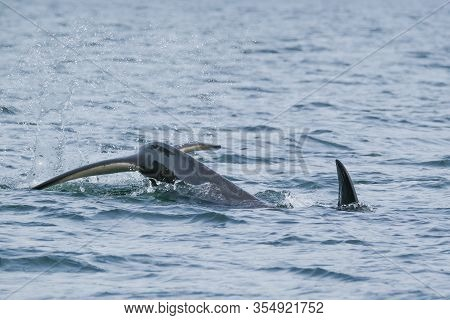 Killer Whale In Tofino, Tale And Fin Above Water, View From Boat On A Killer Whale