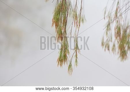 Weeping Tree Branch With Beads Of Glistening Water On Tjhe Tips Of Its Narrow Leaves On A Foggy Morn