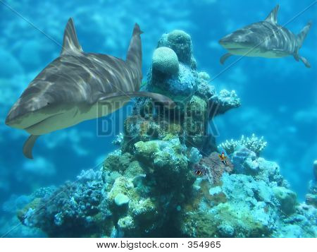 Sharkbommie
