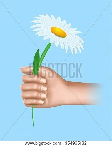 Human Hand Holding Chamomile Flower Isolated On Blue Background. Spring Or Summer Time Season, Gift,