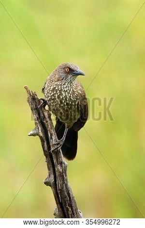 The Arrow-marked Babbler (turdoides Jardineii) Sitting On The Branch With Green Background. Passerin