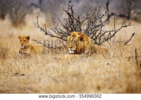 The Southern Lion (panthera Leo Melanochaita) Also Referred To As The East-southern African Lion Or