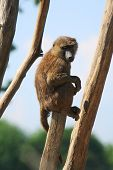 monkey (baboon) sitting on a branch on a sunny day poster