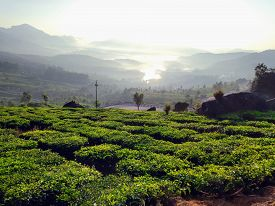 A Tea Estate In Munnar, Kerala, India. High Contrast Image In The Morning Sun With A Water Body Or D