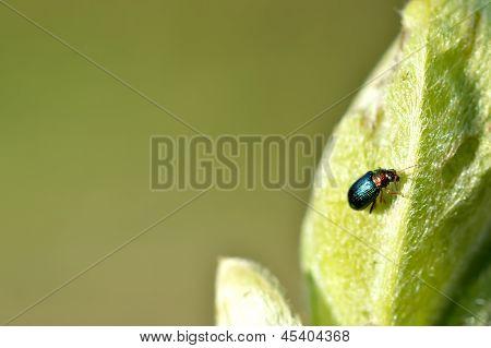 Green Leaf Beetle (chrysolina Herbacea)