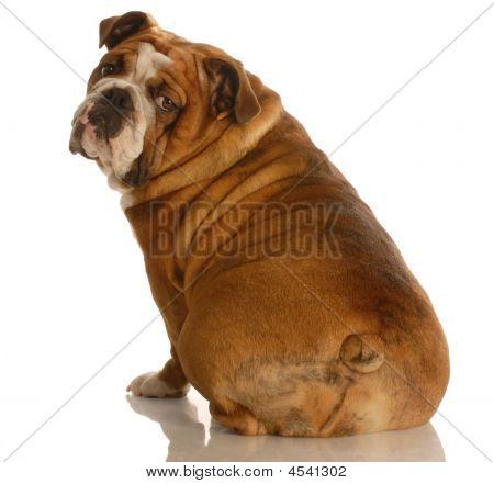 Bulldog Sitting From Backside