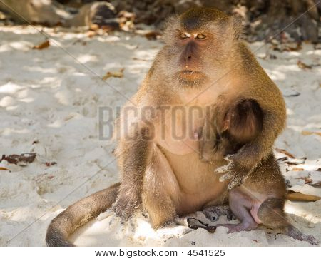 Image of the monkey mother with baby in Phi-Phi island in Thailand. poster