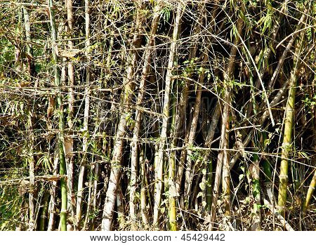 Bamboo Tree In Nature.