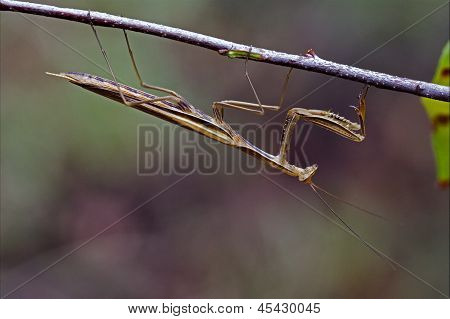 Mantodea On A Brown Branch