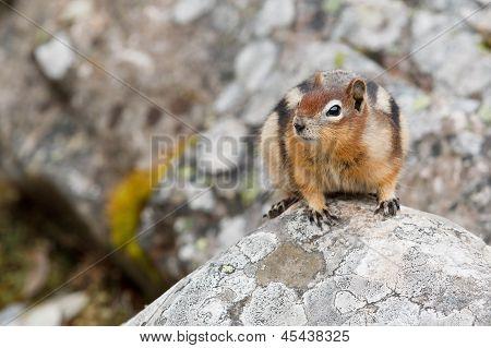 Golden-mantled ground squirrel spermophilus lateralis Jasper National Park Alberta Canada poster