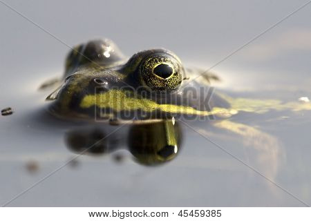 Macro photo of a green frog in a bog lake, Netherlands
