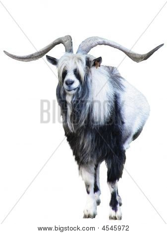 Goat With Great Horns Isolated
