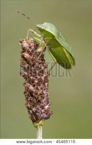 Heteroptera  On A Flower