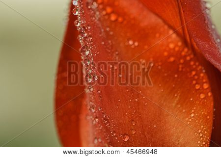 Petals Of Red Tulip With Water Drops