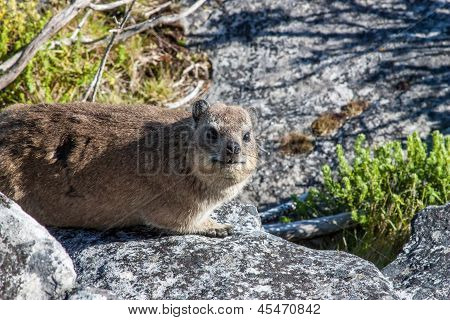 Animal Dassy On Table Mountain,  Cape Town. South Africa
