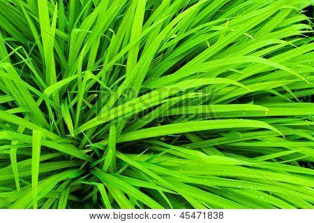 свежая зеленая трава