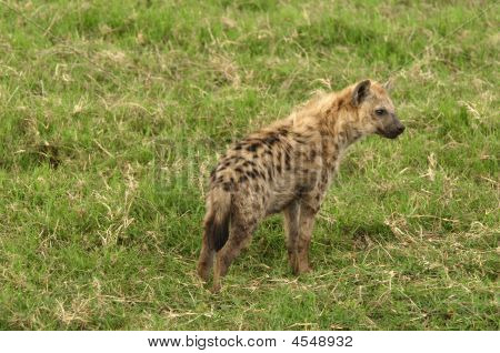 Spotted (Laughing ) Hyena is a carnivorous mammal. poster