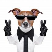 cool dog with peace fingers in black leather gloves poster