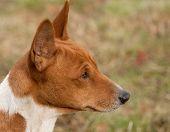 Head study of a hunting hound a Basenji poster