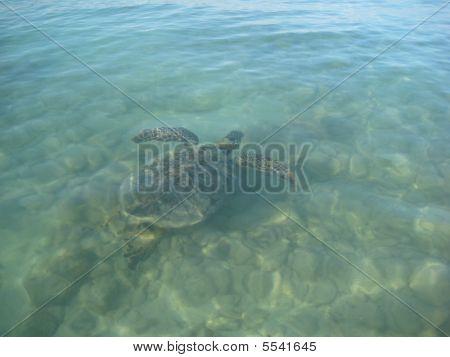 Sea Turtle Swimmer