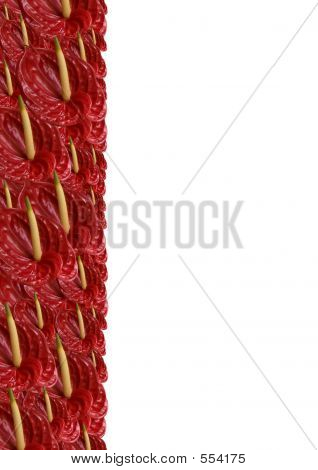 Packed Red Anthurium